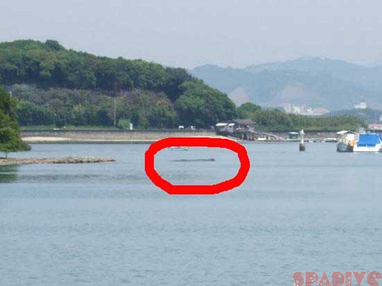 田辺市内浦湾の迷いクジラ続報|5/20/2009