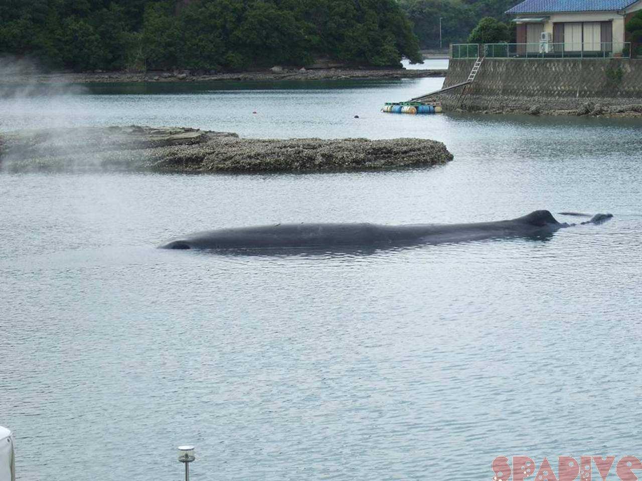 ホエールウォッチング|田辺市内浦湾の迷いクジラ|5/15/2009
